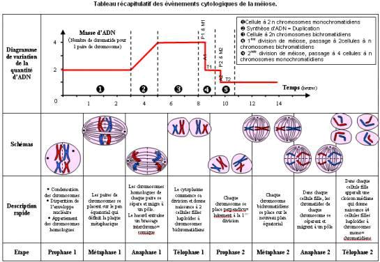 Berühmt TI-Planet | SVT schéma méiose (programme mViewer GX Creator Lua  PG04